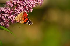 Butterfly, at sunset... (Capturedbyhunter) Tags: fernando caçador marques fajarda coruche ribatejo santarém portugal pentax k1 smc fa 135mm f28 butterfly borboleta sunset pôr do sol bokeh dof nature natureza pentaxart