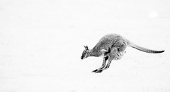 Wallaby (Phil Everett Photography) Tags: wallaby animals canon canonphoto