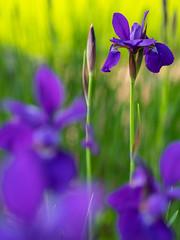 japanese iris GFX1637 (DannyBurkPhotography) Tags: japaneseiris spring flower purple southbend indiana bokeh focus soft fuji gfx50s mamiya 80mm
