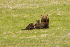 The pause that refreshes (ChicagoBob46) Tags: grizz grizzlybear grizzly bear cub cubs coy yellowstone yellowstonenationalpark nature wildlife coth5 naturethroughthelens ngc npc