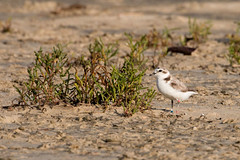 GAL_4689 Snowy Plover (smetpics) Tags: snowyplover