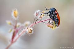 Lachnaia sexpunctata-7142 (Miguel Angel Larrea) Tags: macro insecto insect naturaleza nature wildlife spain madrid escarabajo beetle coleoptera coleoptero chrysomelidae lachnaia sexpunctata