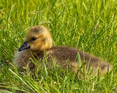 Goosling (AChucksEyeView) Tags: horicon marsh bird waterfowl water wisconsin nature goose goosling tamron150600g2