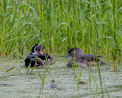 Wood Duck Pair (AChucksEyeView) Tags: horicon marsh bird waterfowl water wisconsin nature wood ducks colors colorful