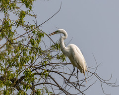 Egret (AChucksEyeView) Tags: horicon marsh bird waterfowl water wisconsin nature egret