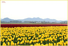 a burst of color! (MEA Images) Tags: tulips flowers blossoms blooms flora nature parks gardens skagitvalley roozengaardetulipfestival mountvernon washington canon picmonkey