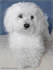 Quinto - freshly bathed (Fay2603) Tags: malteser maltese dog white hund weis cane chien blanc bianco soft