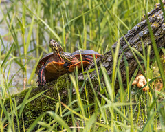 Painted Turtles (AChucksEyeView) Tags: horicon marsh painted turtle water wisconsin nature tamron150600g2