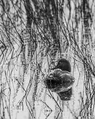 190529-EOSR3714BW (AChucksEyeView) Tags: horicon marsh bird waterfowl water wisconsin nature red head duck black white