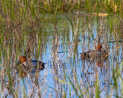 Red Headed Ducks (AChucksEyeView) Tags: horicon marsh bird waterfowl water wisconsin nature red headed duck