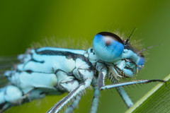 Damselfly (Rich Lukey) Tags: insect dragonfly dragonflies damsel damselfly damselflies blue nikon d7100 sigma 105mm reflector diffuser homemade extension achromat macro closeup nature