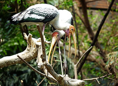 painted stork (geneward2) Tags: painted stork bird nature