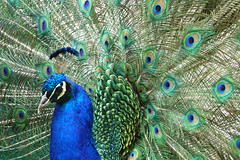 Indian peafowl (geneward2) Tags: indian peafowl bird bronx zoo feathers peacock