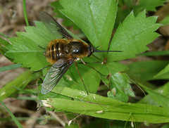 Early summer bee fly (HFDF!) (cotinis) Tags: insect diptera bombyliidae bombylius bombyliusmexicanus beefly northcarolina piedmont enoriver canonef100mmf28macrousm flydayfriday inaturalist