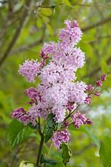 Lilac (Syringa) (Seventh Heaven Photography **) Tags: lilac syringa bush shrub tree flower bloom flora bokeh nikond3200