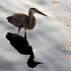 Shadow (mimsjodi) Tags: shadow challenge groupchallenge bird birds saturdayselfchallenge cellphone greatblueheron gbh