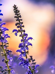 Flowers with sunset in background (Steppenwolf33) Tags: flower blossum salvia steppenwolf33 sunset