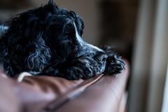 RIP My Beautiful Boy (jayneboo) Tags: loss grief sadness friend love pet bertie cocker spaniel age14 blue roan