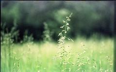 Tall grass (lucas.dul2) Tags: film iso50 ektachrome c41 slidefilm crossprocessing nikonf3