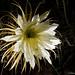 Selenicereus hondurensis_DSC1779