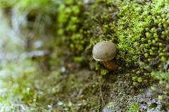 Whisky Thief (Ian David Blüm) Tags: mushroom moss fungus macro rock green glengoyne dumgoyne scotland