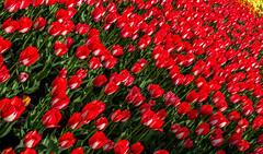 Tulips (sklachkov) Tags: tulips tulip flower flowers ottawa festival spring