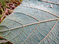 Veins On A Leaf. (dccradio) Tags: lumberton nc northcarolina robesoncounty outdoor outdoors outside nature natural greenery leaf grass ground fallen lawn vein veins may friday evening goodevening fridayevening canon powershot elph 520hs photooftheday photo365 project365
