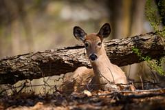 Relax, It's Friday (Eric Tischler) Tags: deer lying relaxing animal woods