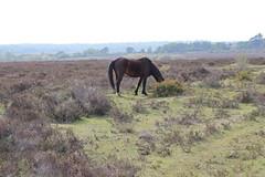New Forest Horses,4 (doojohn701) Tags: horse animal grazing nag overgrown sky sunlight green grass newforest dorset uk