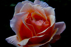 inside inferno (ranchodon) Tags: flower rose garden nature macro