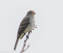 Willow Flycatcher #2 (rdroniuk) Tags: birds passerines smallbirds flycatchers willowflycatcher empidonaxtraillii oiseaux passereaux moucherolledessaules moucherolles