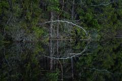Forest reflection (Fjällkantsbon) Tags: doroteakommun sverige vårflod vatten lappland evamårtensson högland långseleån västerbottenslän springflood reflection reflektion lapland