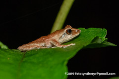 Shrub Frog (Pseudophilautus sp.) DSC_2256 (fotosynthesys) Tags: shrubfrog pseudophilautus rhacophoridae frog amphibian srilanka