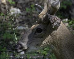 DeerwithTicks_SAF3120 (sara97) Tags: antlers copyright©2019saraannefinke deer herbivore loneelkpark missouri nature photobysaraannefinke saintlouis wildlife