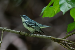 Cerulean Warbler (grobinette) Tags: ceruleanwarbler warbler neotropical skylinedrive shenandoahnationalpark dickeyridge