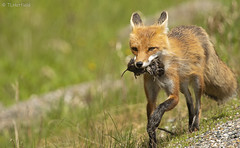 Red Fox with it's catch (tlhatfield) Tags: red fox nature wildlife nikon d500 f4 300mm animal forest fur