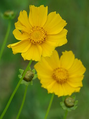 sand coreopsis (Cheryl Dunlop Molin) Tags: flower wildflowers coreopsis yellowwildflowers sandcoreopsis wildflowersofindiana filltheframe flickrlounge