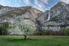 Apple Blossoms and a Waterfall (Kirk Lougheed) Tags: california cooksmeadow usa unitedstates yosemite yosemitefalls yosemitenationalpark yosemitevalley landscape meadow nationalpark outdoor park spring water waterfall
