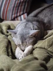 20190407_09_LR (enno7898) Tags: panasonic lumix lumixg9 dcg9 vario xvario 35100mm f28 cat abyssinian pet