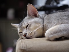 20190407_06_LR (enno7898) Tags: panasonic lumix lumixg9 dcg9 vario xvario 35100mm f28 cat abyssinian pet