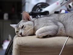 20190407_01_LR (enno7898) Tags: panasonic lumix lumixg9 dcg9 vario xvario 35100mm f28 cat abyssinian pet