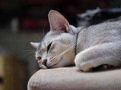 20190407_05_LR (enno7898) Tags: panasonic lumix lumixg9 dcg9 vario xvario 35100mm f28 cat abyssinian pet