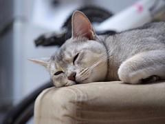 20190407_04_LR (enno7898) Tags: panasonic lumix lumixg9 dcg9 vario xvario 35100mm f28 cat abyssinian pet