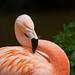 Chilean Flamingo (Phoenicopterus chilensis) - Paignton Zoo, Devon - May 2019