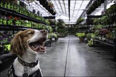 5-12 Eva: the greenhouse (Dave (www.thePhotonWhisperer.com)) Tags: 12monthsfordogs 12monthsforeva dog brittanyspaniel dogversation greenhouse plants happy light