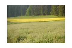 Wir werden aufmerksam beobachtet. (balu51) Tags: morgenspaziergang wiese rapsfeld reh gelb grün frühling mai 2019 copyrightbybalu51