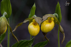 lesser yellow lady slipper, cypripedium parviflorum var. parviflorum (ats8110) Tags: lesseryellowladyslipper cypripediumparviflorumvarparviflorum michigan native wild orchids d850 nikon heliconfocus