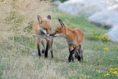 Fox Love (marylee.agnew) Tags: red fox vulpes nature flowers spring grass wildlife outdoor beauty mother love kit care