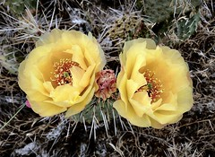 Cactus flowers (__ PeterCH51 __) Tags: opuntiafragilis pricklypearcactus yellowcactusflowers cactusflowers cactus flowers yellowflowers archesnationalpark utah amerika america usa iphone peterch51 desertflowers bloomingcactus