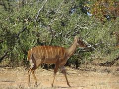 (female) Njala (Pixi2011) Tags: antelope krugernationalpark southafrica africa wildlifeafrica wildlife wildanimals animals shingwedzi